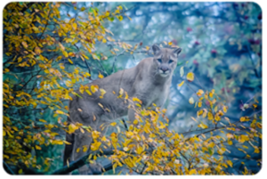 Cougar standing in tree. Leaves are yellow
